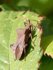 Dock Bug (chaz jackson) Tags: dockbug coreusmarginatus hemiptera coreidae dock bug insect