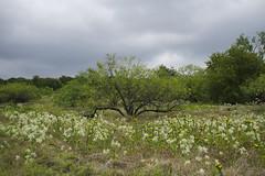 My Favorite Mesquite Tree (Bernie Emmons) Tags: trees arborhillsnaturepreserve mesquitetree wildflowers clouds planotx