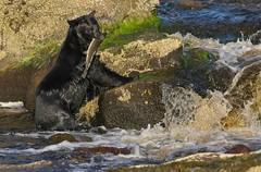 20190827Z7_5407 (cisco42) Tags: bc blackbear fish britishcolumbia canada creek mammal predator ursusamericanus