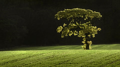 Autumnal Back Light (Glenn D Reay) Tags: backlit lonetree tree lamesley sunny longfocallength field pentaxart pentax k70 glennreay