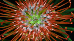 Proteaceae (manni0656) Tags: proteaceae meike mkzaf1 metal auto focus macro extension tube adapter ring 11mm18mm