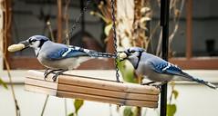 Blue Jays with Peanuts (mahar15) Tags: jay birds outdoors birdsfeeding wildlife bluejay birdbehavior nature