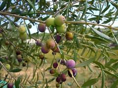 Aceitunas arbequinas (7) (calafellvalo) Tags: aceitunasaceitunerosarbequinasolivasoliaceiteolivosoilcalafellvalo aceitunas olivas oil oli aceite olives olivetree olivenbaüme olive oliveraires olivegroves calafellvalo recogiendoaceitunas green arbequina arbequino
