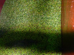 Aceitunas arbequinas (4) (calafellvalo) Tags: aceitunasaceitunerosarbequinasolivasoliaceiteolivosoilcalafellvalo aceitunas olivas oil oli aceite olives olivetree olivenbaüme olive oliveraires olivegroves calafellvalo recogiendoaceitunas green arbequina arbequino