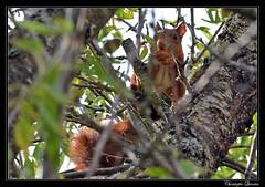 Ecureuil roux (Sciurus vulgaris) (cquintin) Tags: chordata vertebrata mammalia rodentia sciuridae sciurus vulgaris ecureuil squirrel