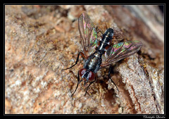 Mintho rufiventris (cquintin) Tags: arthropoda diptera tachinidae mintho rufiventris macroinsectes