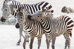 Zebras_Many_018 (villy_yovcheva) Tags: africa african animal background black fauna head herbivore mammal nature park safari skin stripe striped tanzania white wild wildlife zebra zoo