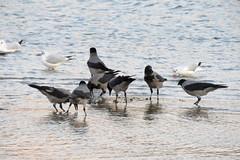 Hooded crows at the shallow sea water. (Vitaly Giragosov) Tags: hoodedcrow sevastopol songbird crimea russia blacksea чёрноеморе севастополь крым рф сераяворона певчие corvuscornix