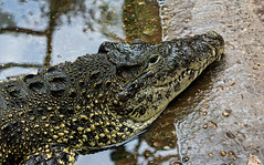Cuban crocodile (Millie Cruz (On and Off)) Tags: cubancrocodile aggresive dangerous endangered nationalzoo smithsoniannationalzoo washingtondc zoo reptile animalplanet ef50mmf18stm canoneosrebelt6i milliecruz