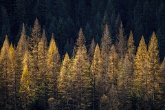 Larches (jan lyall) Tags: trees britishcolumbia larches goldentrees autumn deciduous janlyallphotography