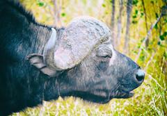 Cape Buffalo in South Africa (` Toshio ') Tags: toshio southafrica africa capebuffalo safari big5 nature anmial mammal buffalo canon7d canon 7d bull horn