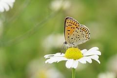 (passionpapillon) Tags: macro insecte papillon butterfly bokeh nature fleur flower vert green passionpapillon 2019 sonyilce6300 fe90mmf28 macrogoss lecuivréfuligineux