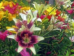 Услада для глаз (lvv1937) Tags: лилиицветы клумба сад thisiswhyiboughtacamera flickreveryday beautifullight coloursofflickr