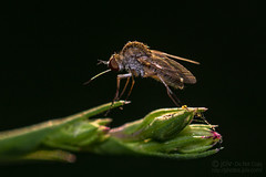Happy Bee Fly Day Friday! (jciv) Tags: fly mission texas unitedstatesofamerica file:name=dsc07447 macro insect