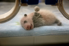 173A6688 Baby Panda in Incubator (margo2x) Tags: chengdubreedingcentre china babypanda incubator pinkblack furry ears animal place