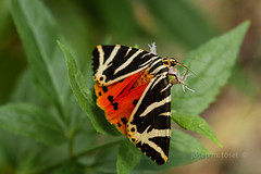 euplagia quadripunctaria (Josep M.Toset) Tags: animalia arthropoda blanc bosc camí catalunya d850 flors fulles insectes nikon josepmtoset macro lepidòpter papallones natura fauna verd vermell euplagia arctins sigma105mmf28exdgoshsm