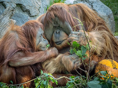 Halloween Treats (helenehoffman) Tags: mammal halloween conservationstatuscriticallyendangered indonesia wildlife greatape primate nature satu orangutan sandiegozoo pongoabelii sumatra friendship animal coth alittlebeauty specanimal specanimalphotooftheday coth5 sunrays5 fantasticnature