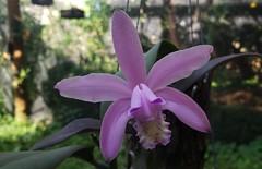Cattleya kerrii Brieger & Bicalho 1976 (Cassano, A.) Tags: orchid orquidea flower flor cattleya cattleyakerrii
