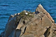 November1Image7785 (Michael T. Morales) Tags: sanderlings pacificgrove birds shorebirds montereybay blue