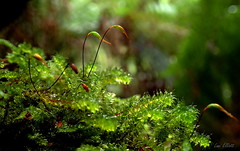 The Tiny World of Mosses and Ferns (Lani Elliott) Tags: macro upclose closeup bokeh bright light green greeney mosses macrounlimited tasmanianflora nature naturephotography lanielliott
