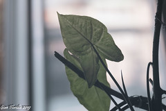 Leaves (Gian Floridia) Tags: leaves bokeh foglie