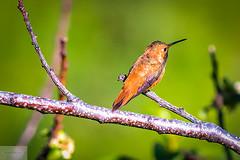 Rufous Hummingbird (Wycpl) Tags: rufoushummingbird wyoming jcpphotography summer bird red hummingbird