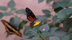 DSC09847 Together (Fotofreaky2013-BUSY) Tags: orchideeënhoeve luttelgeest butterfly vlinder vlindertuin macro