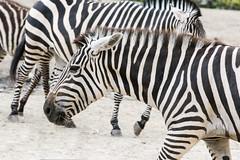 Zebras_Many_024 (villy_yovcheva) Tags: africa african animal background black fauna head herbivore mammal nature park safari skin stripe striped tanzania white wild wildlife zebra zoo