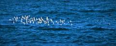November1Image7865 (Michael T. Morales) Tags: sanderlings pacificgrove birds shorebirds montereybay blue