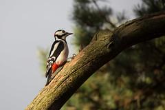 Woodpecker (annjane3) Tags: specht woodpecker vogel vögel bird nature tree great spotted dendrocopos major garden male