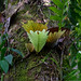 Gunung Mulu Nationalpark, Borneo