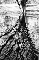 tree ripples (Francis Mansell) Tags: tree water ripple reflection hampsteadheath pond scan scanned scannedfromnegative niksilverefexpro2 monochrome blackwhite london grainy