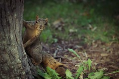 Squirrel, Cantigny Park. 85 (EOS) (Mr. Mega-Magpie) Tags: canon eos 60d nature wildlife tree squirrel cantigny park wheaton dupage il illinois usa america