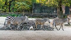 Zebras_Many_017 (villy_yovcheva) Tags: africa african animal background black fauna head herbivore mammal nature park safari skin stripe striped tanzania white wild wildlife zebra zoo
