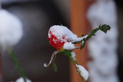 Frozen Rose (Anton Shomali - Thank you for over 3 million views) Tags: winter 2019 halloween rain wet after drops droplets beautiful colors red color colours flowers photography photo capture beauty happy sunday rainy sony slta77v flower rose nature september weather fall camera flickr morning snow october cold ice winter2019 redrose frozenrose redflower