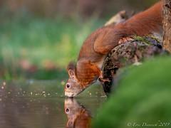 Thirsty Squirrel (eric-d at gmx.net) Tags: redsquirrel squirrel eichhörnchen sciurusvulgaris sciurus vulgaris eric