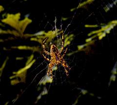 Spider (ost_jean) Tags: spider spin nikon d5200 tamron sp 90mm f28 di ostjean