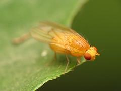 Clear-winged Homoneura