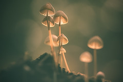 new lighting [ autumn collection ] (gian_tg1) Tags: delicate mushrooms forest autumn forestgreen bokeh light lampshades lighting macro log tinymushrooms magical warmlight glowing smileonsaturday