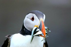 Puffin with sand eels. (BobHurrell) Tags: puffin seabirds lunga treshnishislands mull sandeels birds scottishwildlife