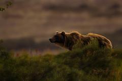 Grizzly Lives Matter (♞Jenny♞) Tags: burstsofbrilliance grizzlysow alaska battleriveralaska bestplaceintheworld specanimal