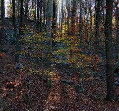 sunlightintheautumnforestc (michaelmaguire4) Tags: leaves sunlight hillside