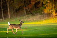 On Prancer! (Eric Tischler) Tags: deer running prancing wildlife ohio fall whitetail