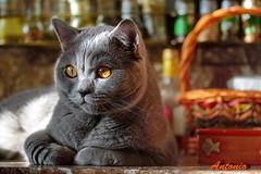 Antonio (Сonstantine) Tags: canon catslife cat animals catsoftheworld catscatscats meowmeow photo pic cutecat british cute bokeh britishcat