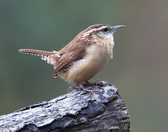 Carolina Wren (Diane G. Zooms---Mostly Off) Tags: wren carolinawren birds wildbirds nature dianegiurcophotography wrenphotos longislandbirds alittlebeauty sunrays5 coth coth5