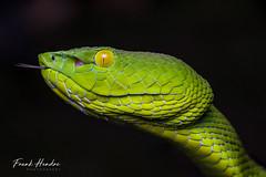 Peninsula Pit Viper (Trimeresurus fucatus) (F.Hendre) Tags: pahang malaysia siamesepitviper trimeresurusfucatus snake reptile viper pitviper ngc