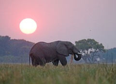 Snack At Sunset (peterkelly) Tags: digital canon 6d africa intrepidtravel capetowntovicfalls botswana okavangodelta africanelephant savannaelephant elephant sunset dusk evening tree sun sunlight light tuskd eating grass wetland savannahelephant
