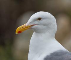 Western Gull (Larus occidentalis) (ekroc101) Tags: birds westerngull larusoccidentalis california pointlobos