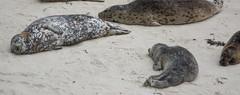 Harbour Seal (Phoca vitulina) (ekroc101) Tags: mammals harbourseal phocavitulina california pointlobos