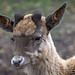 Porträt eines heranwachsenden Hirsches